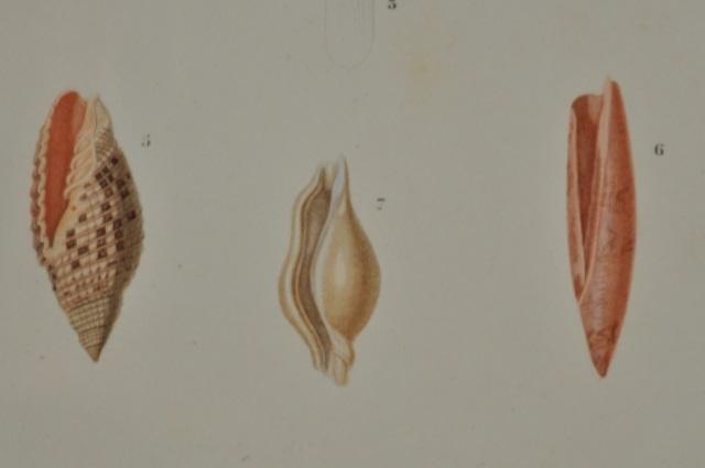 図版5(貝類3)