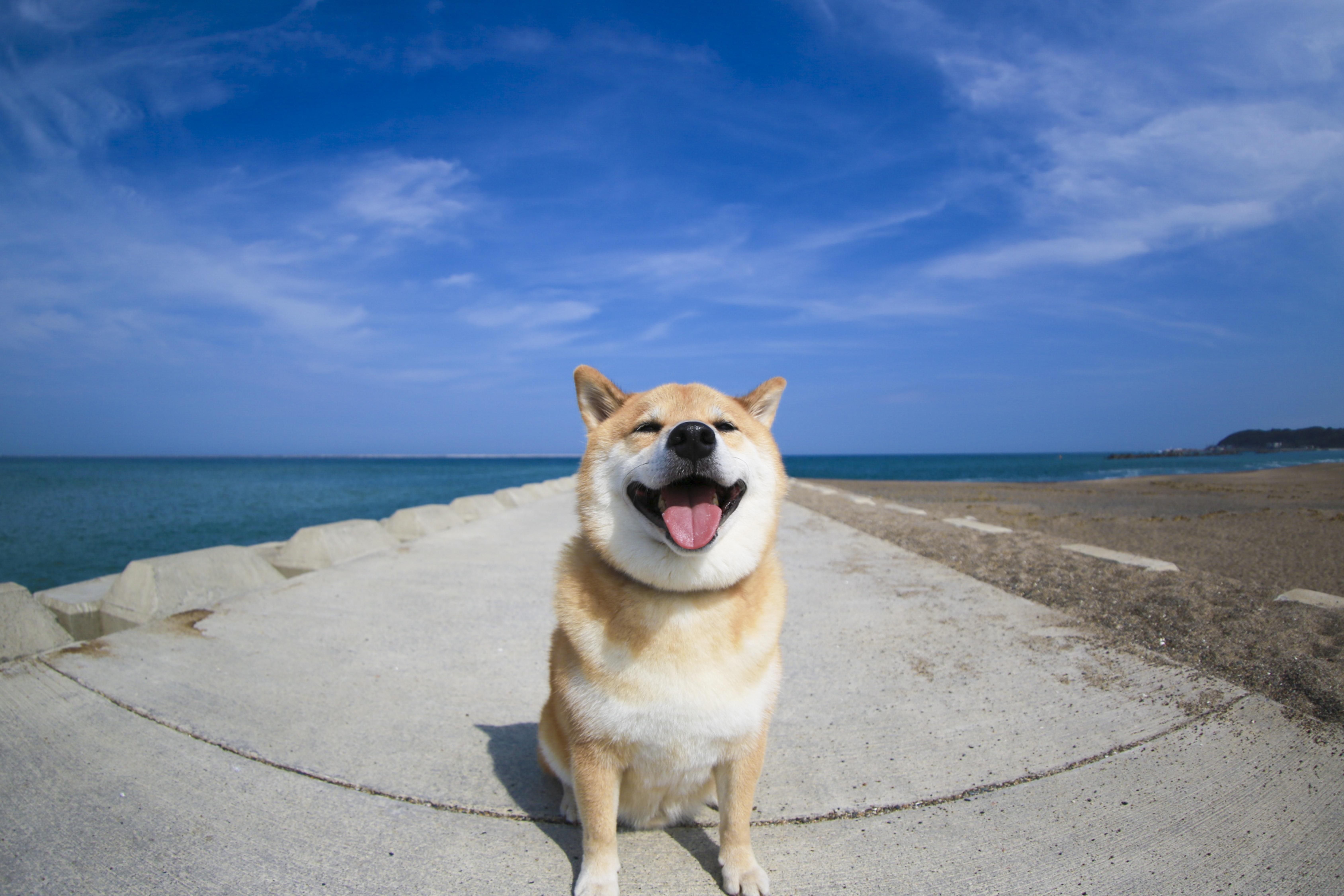 柴犬まる 写真 「青空と海とまる」 A4版