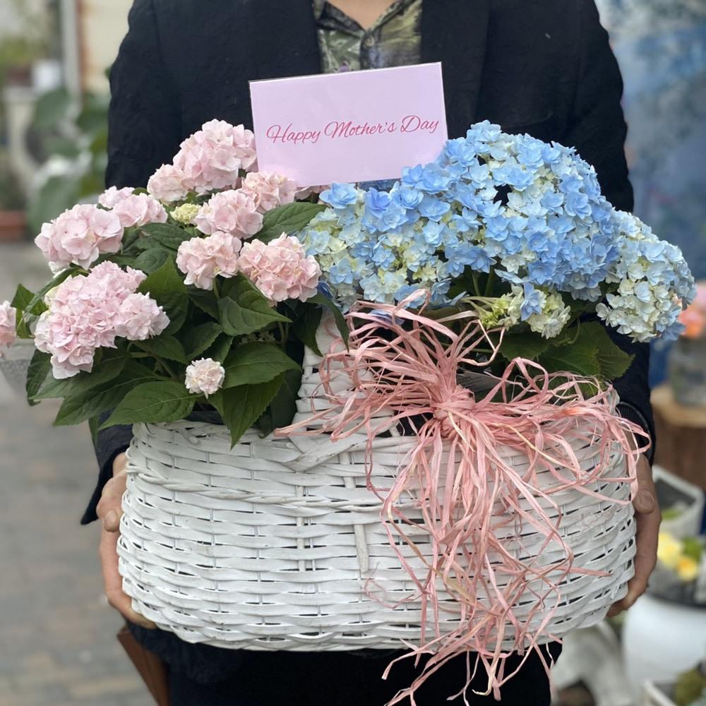 【母の日ギフト】紫陽花品種おまかせピンク&ブルー(バスケット付)