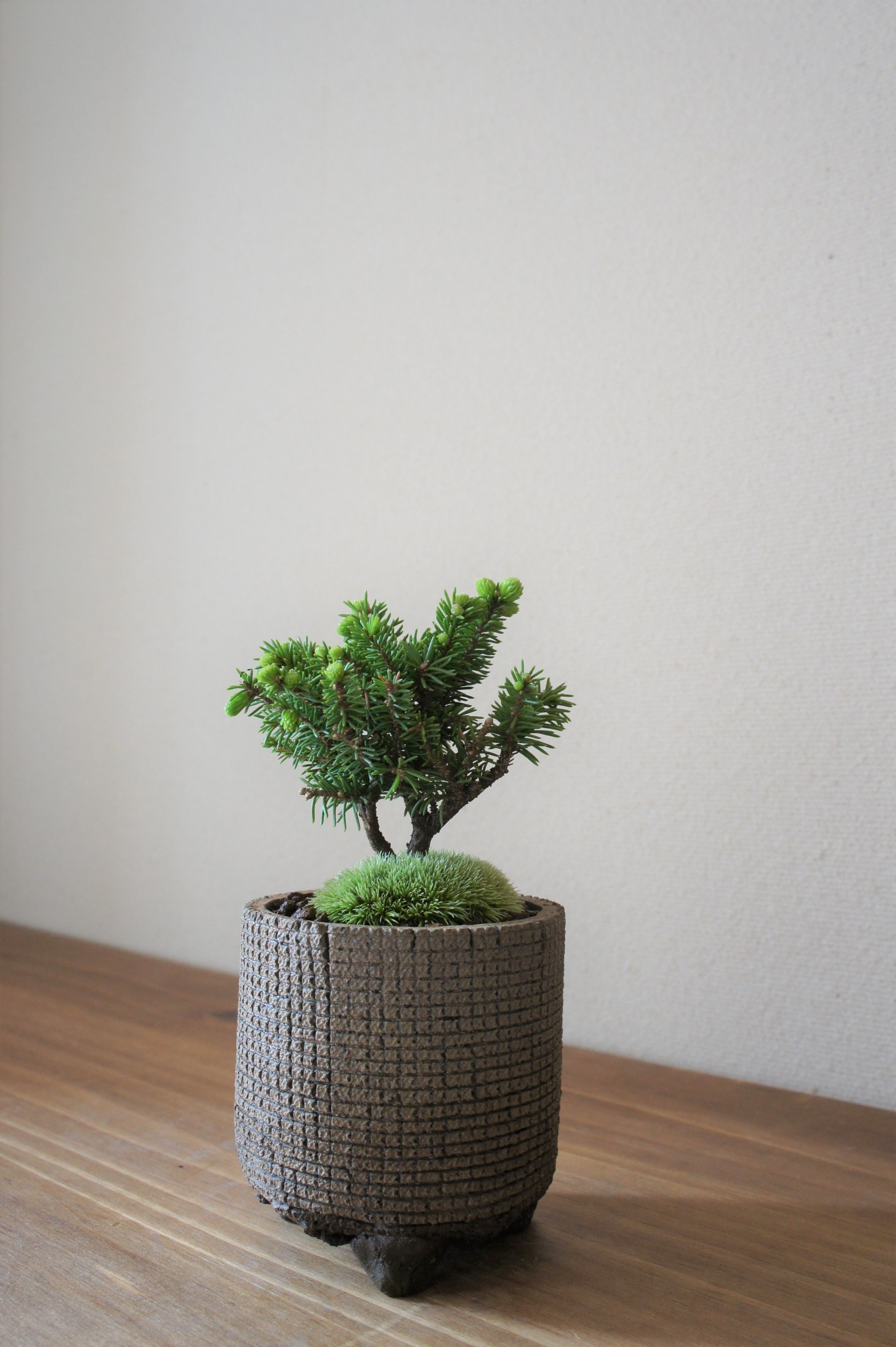 盆栽 八ッ房エゾ松