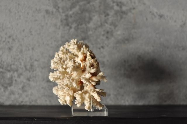 アクリル台付き珊瑚