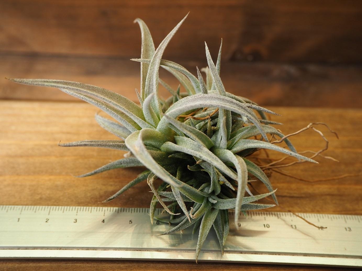 チランジア / チアペンシス (T.chiapensis) CL株