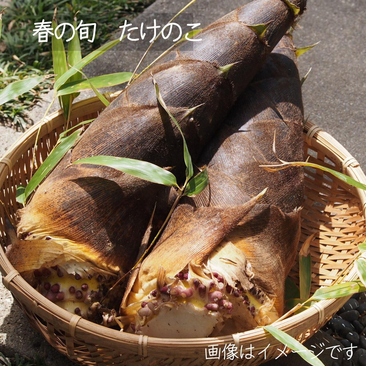 【予約】たけのこ 1本 朝採り直売野菜 4月25日発送予定日