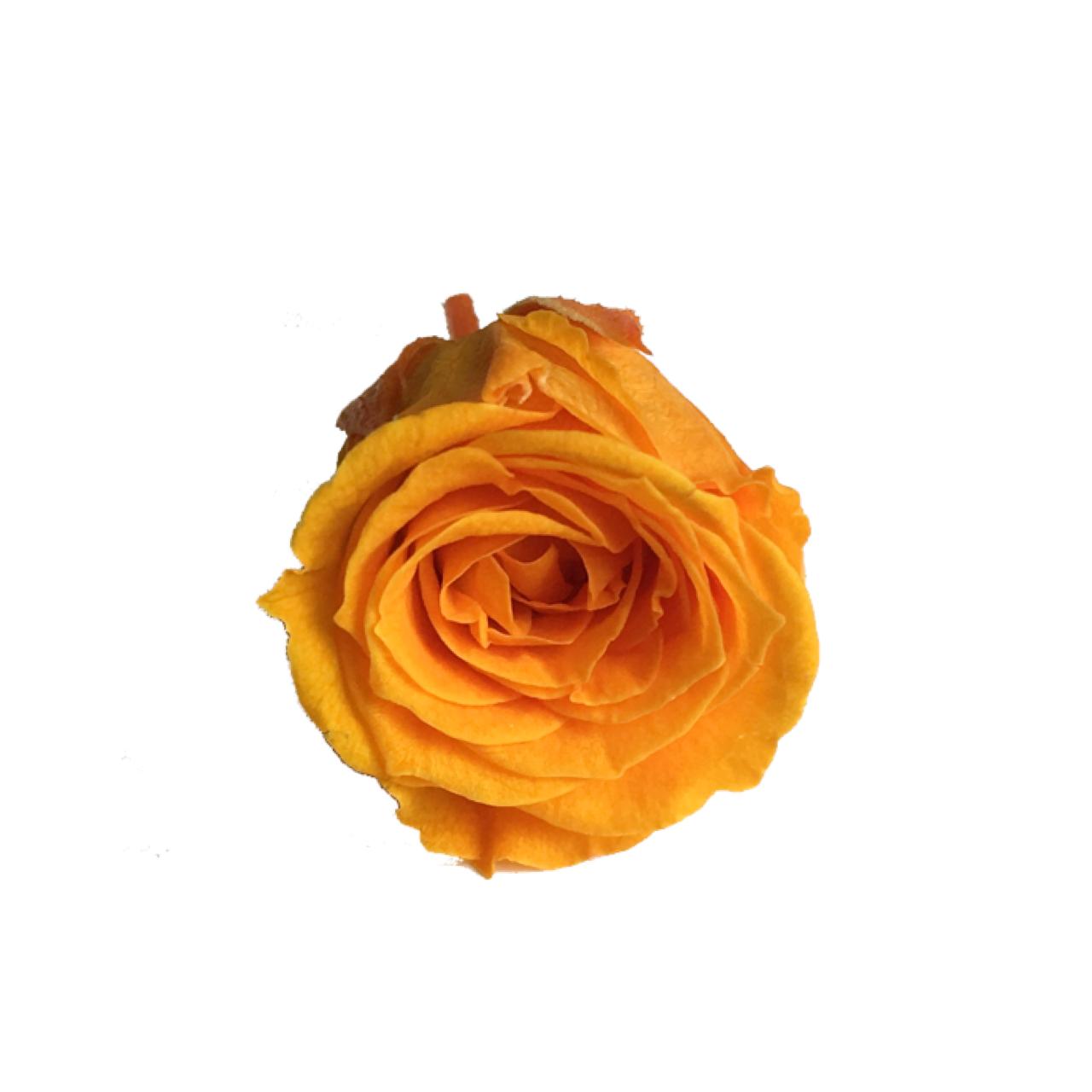 【5%OFF】プリザーブドローズ【1輪販売】 大地農園/ビビアン フルーティオレンジ/0237-0-351