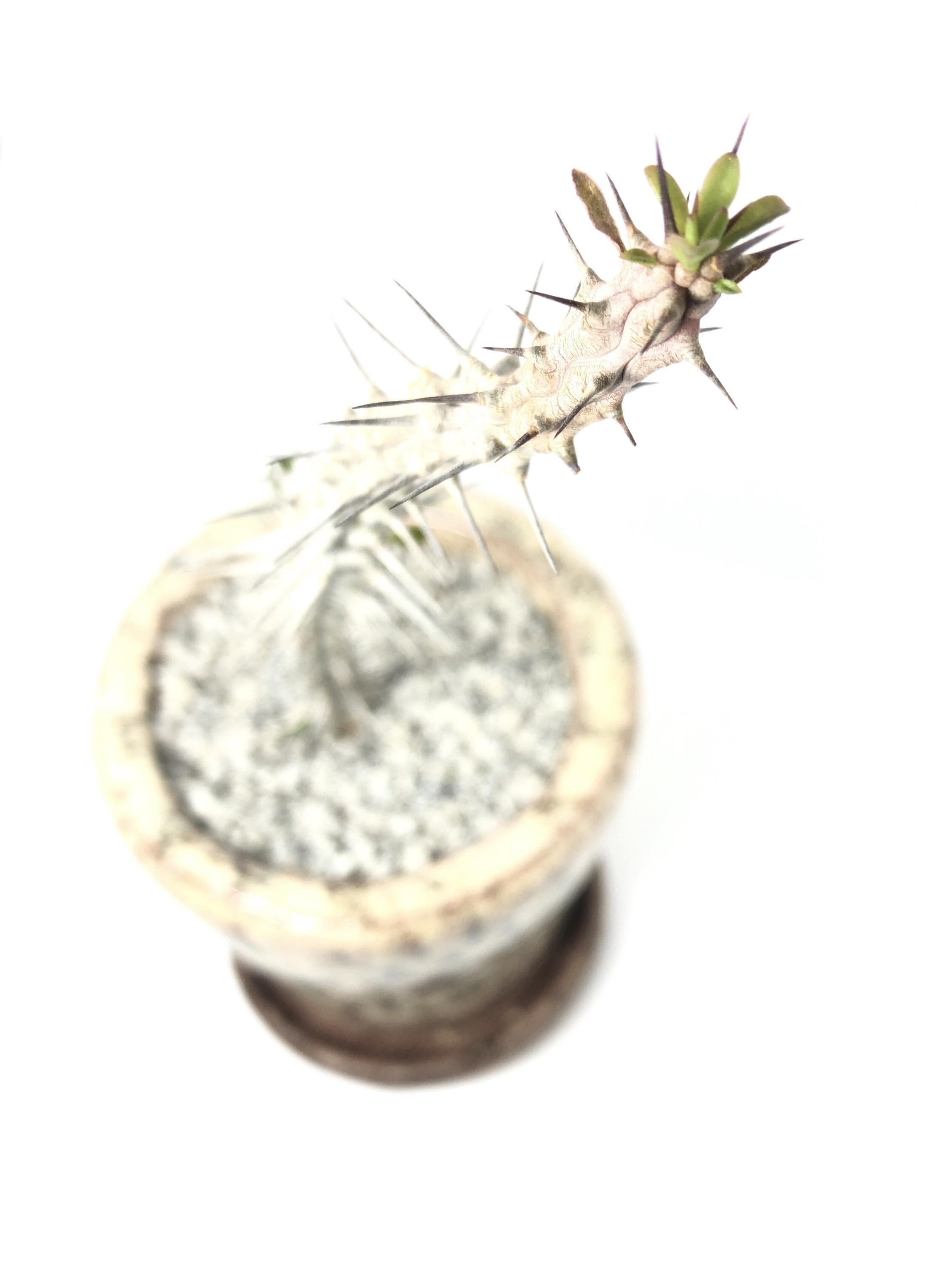 アローディア・亜竜木
