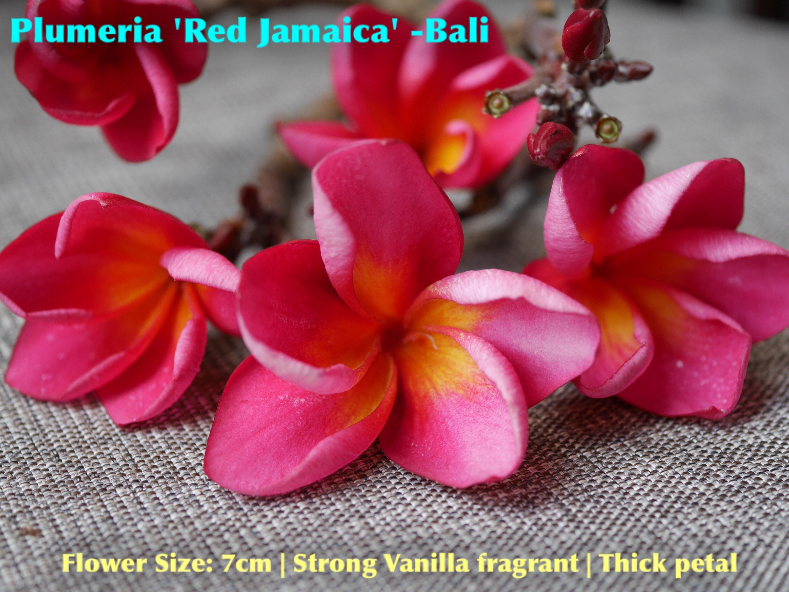 【超レア品種・一点モノ】Plumeria 'Red Jamaica' 苗木
