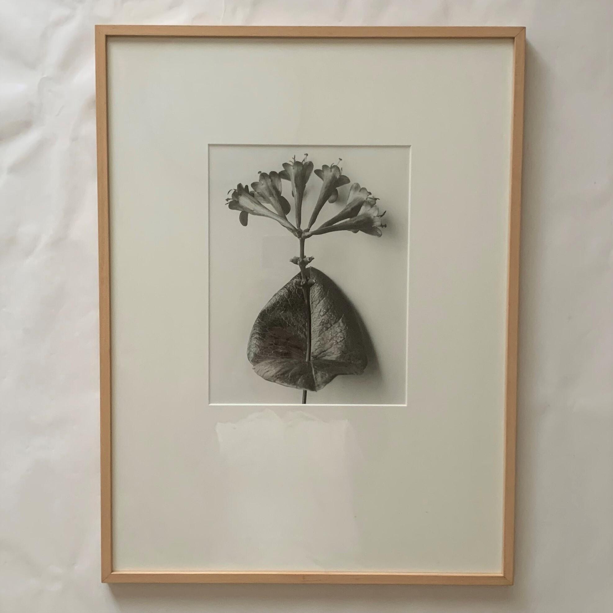 "Lonicera purpurea  ""June""   /   カール・ブロスフェル   /   Karl Blossfeldt"