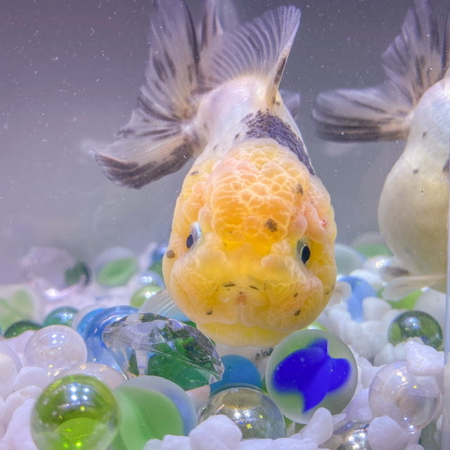 金魚 キャリコ