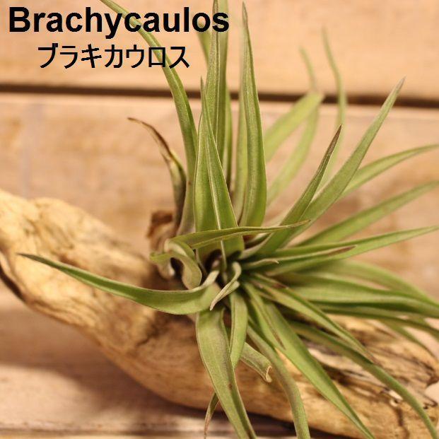 エアプランツ Brachycaulos