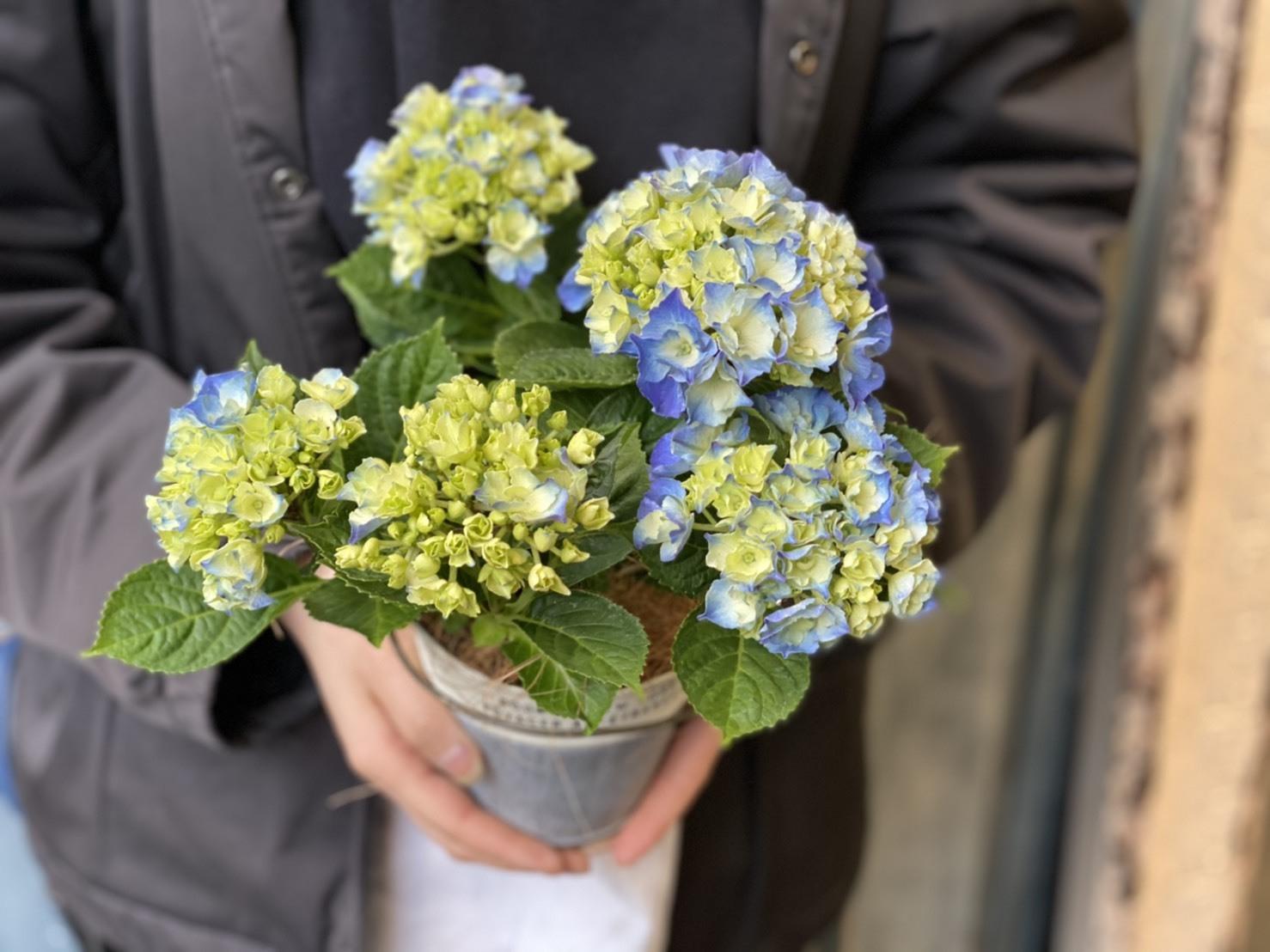 【母の日ギフト】ブルー紫陽花