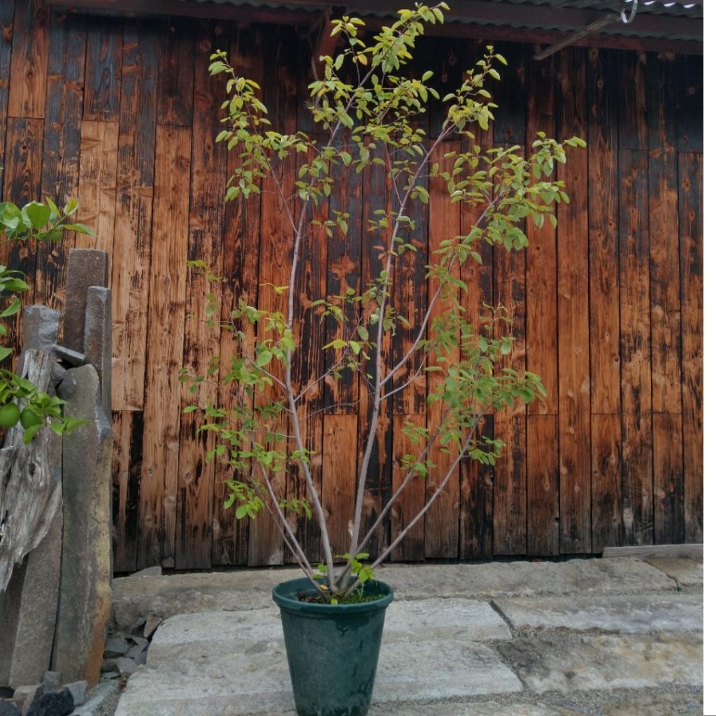 ジューンベリーの鉢植え
