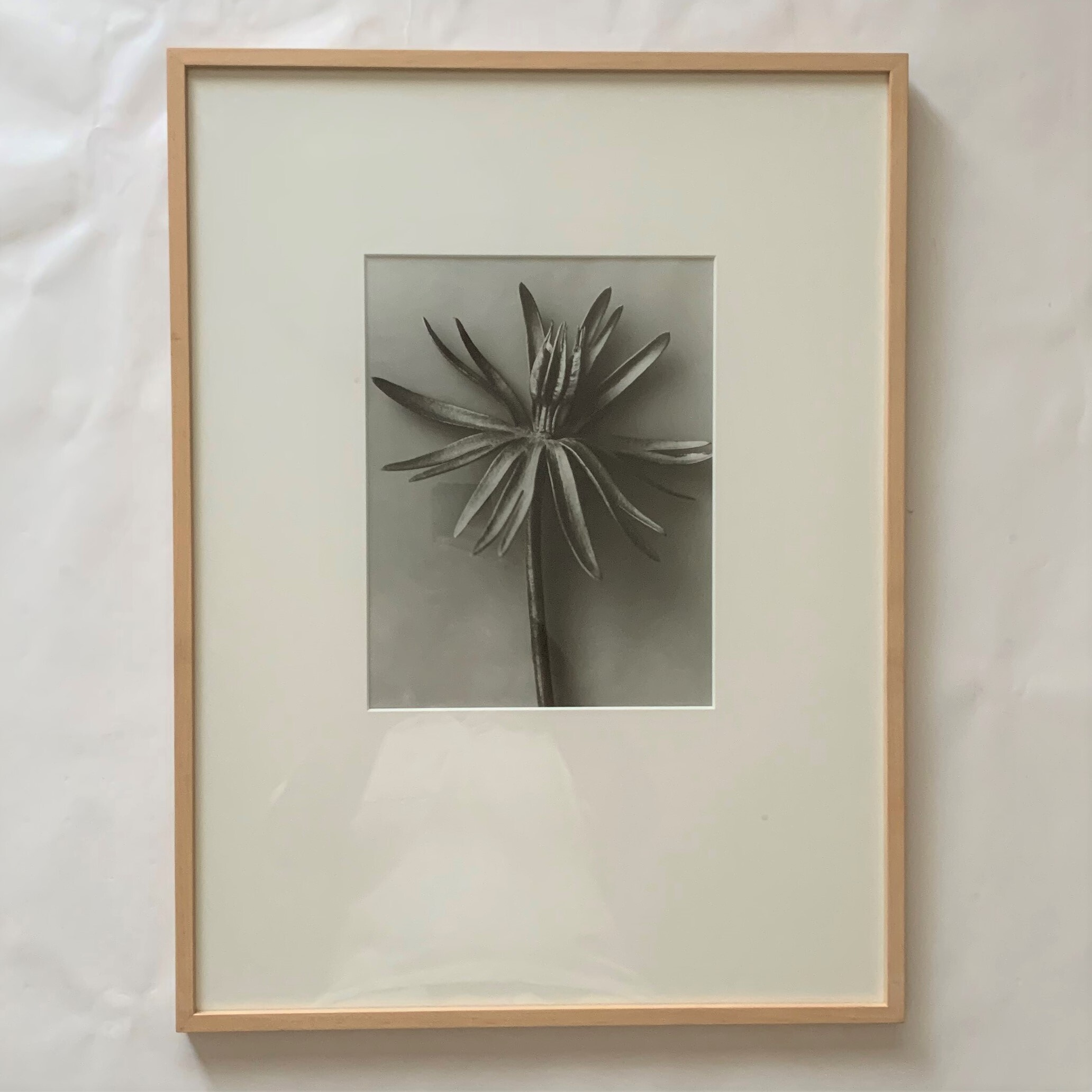 "Eranthis hyemalis  ""August""   /   カール・ブロスフェル   /   Karl Blossfeldt"