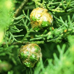 Phytofrance Cypress [サイプレス] - 画像2