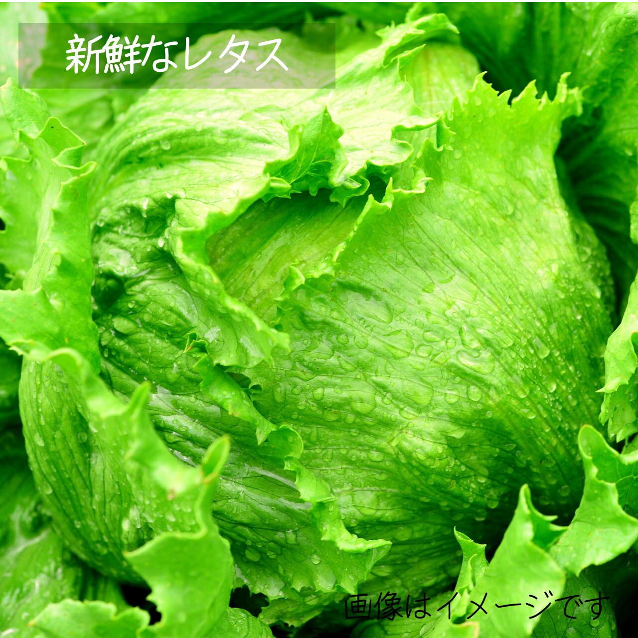 6月の新鮮野菜 :レタス 1個 : 朝採り直売野菜 6月27日発送予定