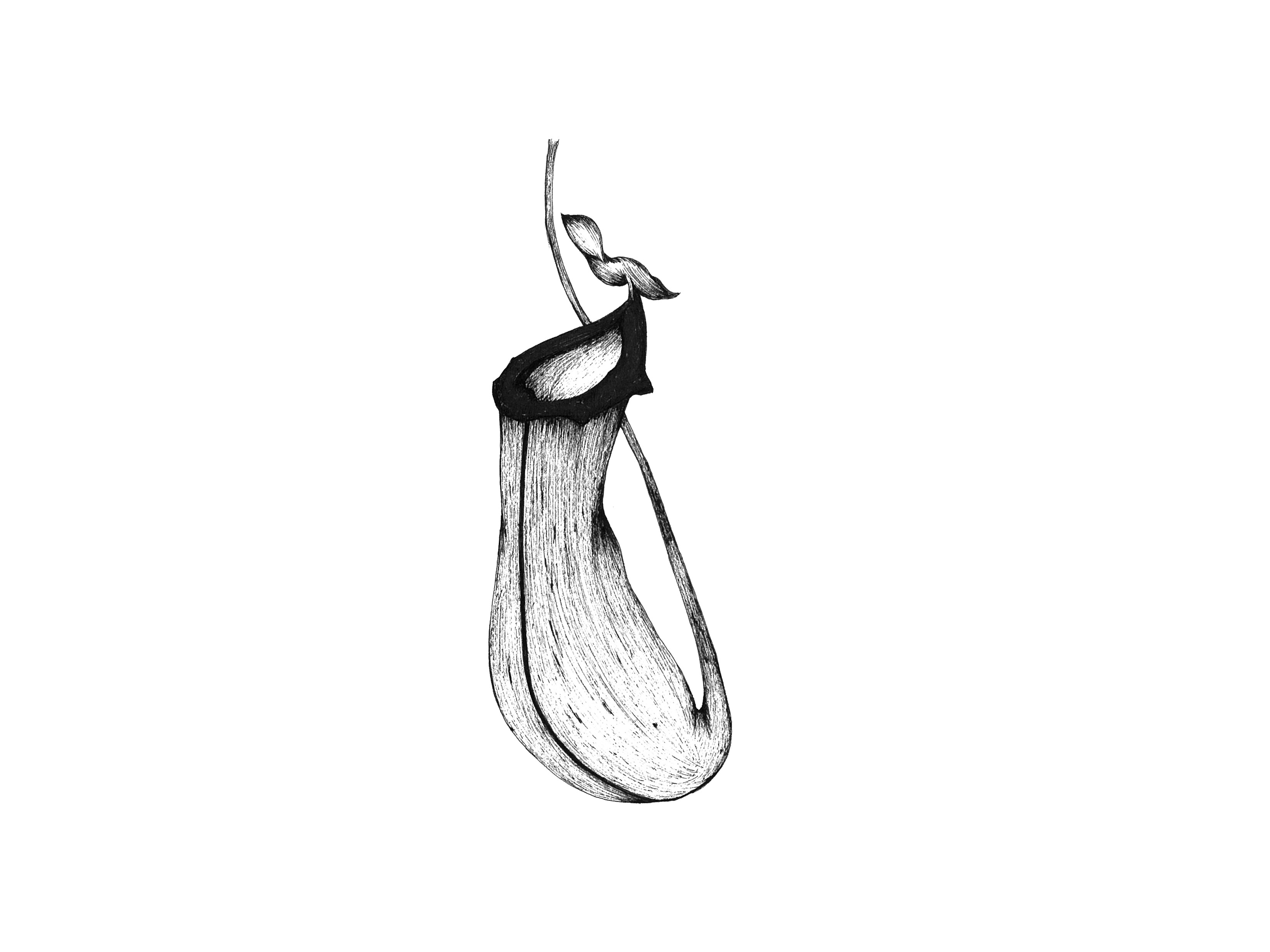 Nepenthes alata 原画作品