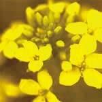 マスタード[Mustard]#21