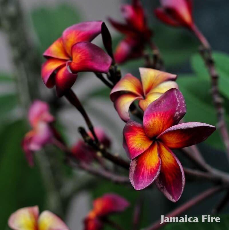 【1点モノ】プルメリア接木苗 'Jamaica Fire' (超・希少種)