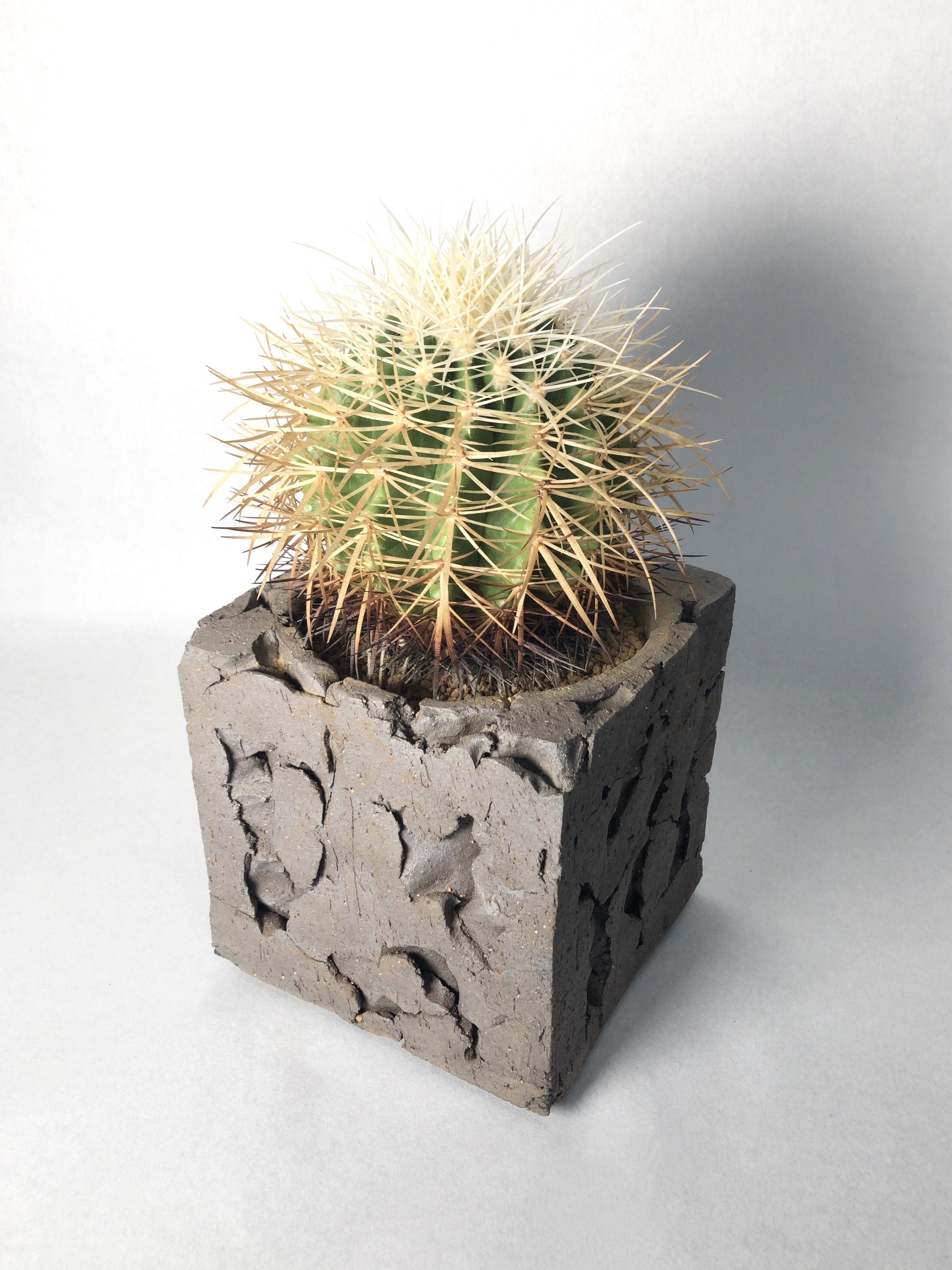 エキノカクタス・白刺金鯱