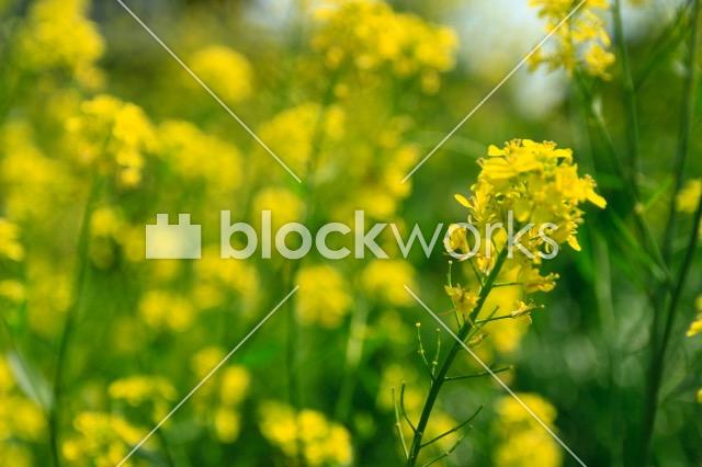 写真素材:春の菜の花001 - 画像1