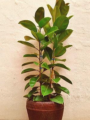 ht001 観葉植物 ゴムの木