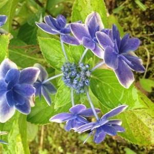 紫陽花(あじさい)『私は雨が好き』|和楽フラワーエッセンス