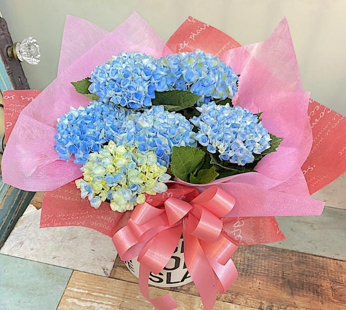 父の日 / 紫陽花の花鉢 フラワーギフト(ブルー)