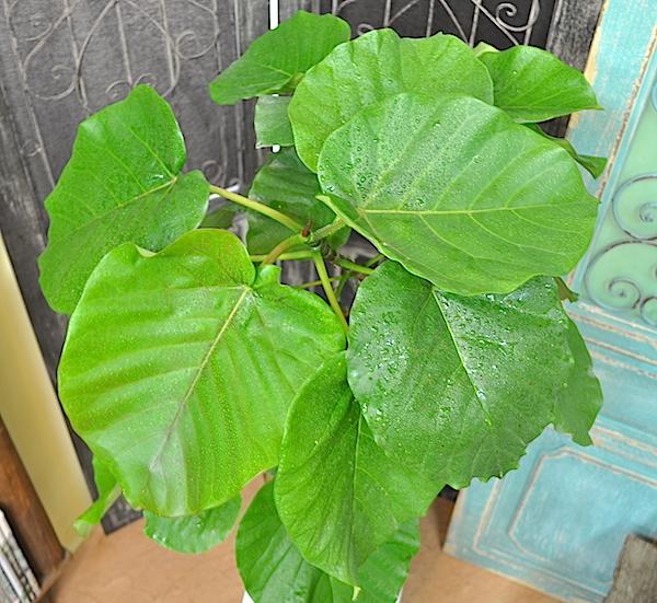 観葉植物 ウンベラータ