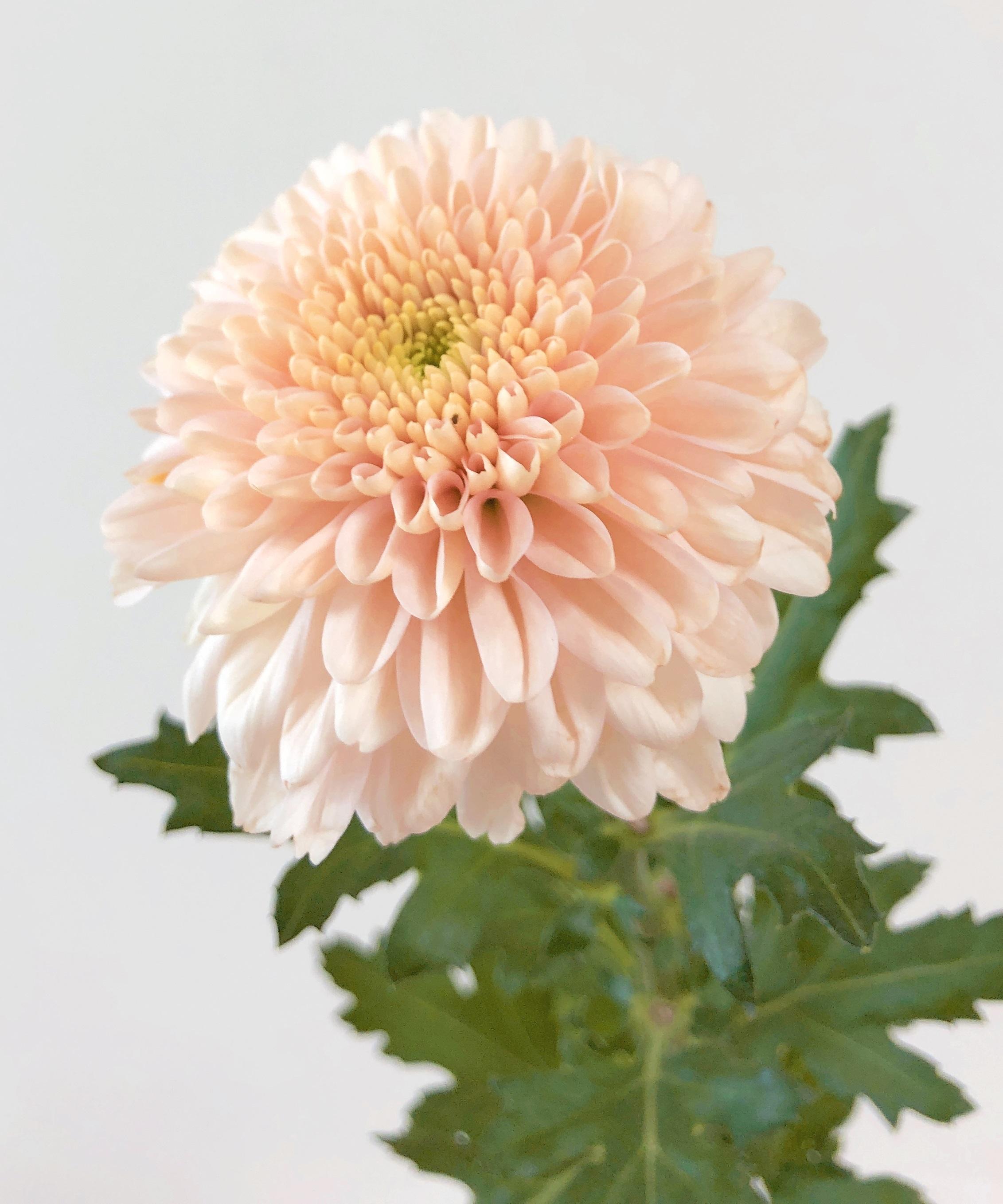 9月9日は『重陽の節句』長寿を願って 菊を飾ろう。 オペラピンク 送料無料