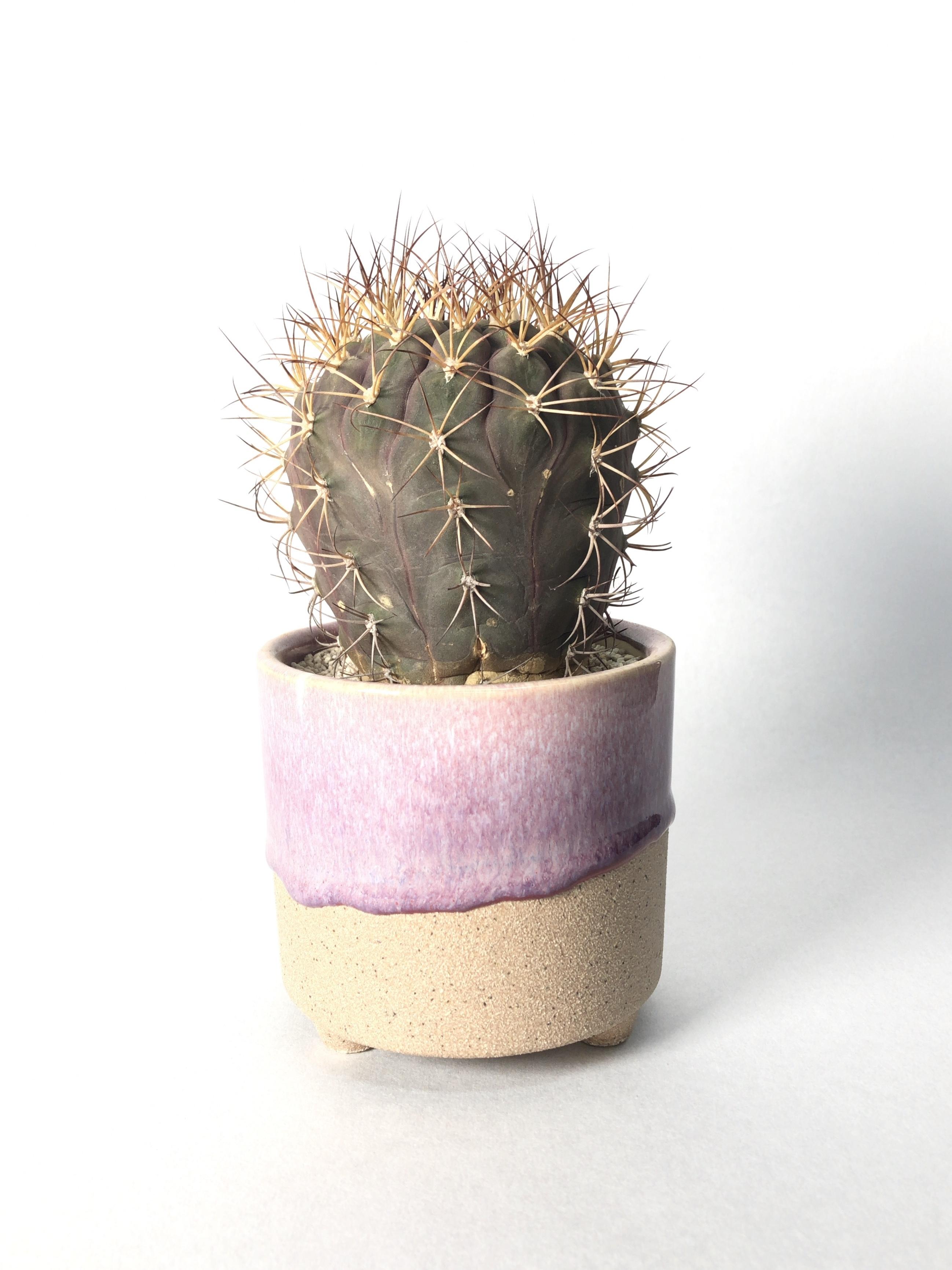 ギムノカリキウム・天紫丸