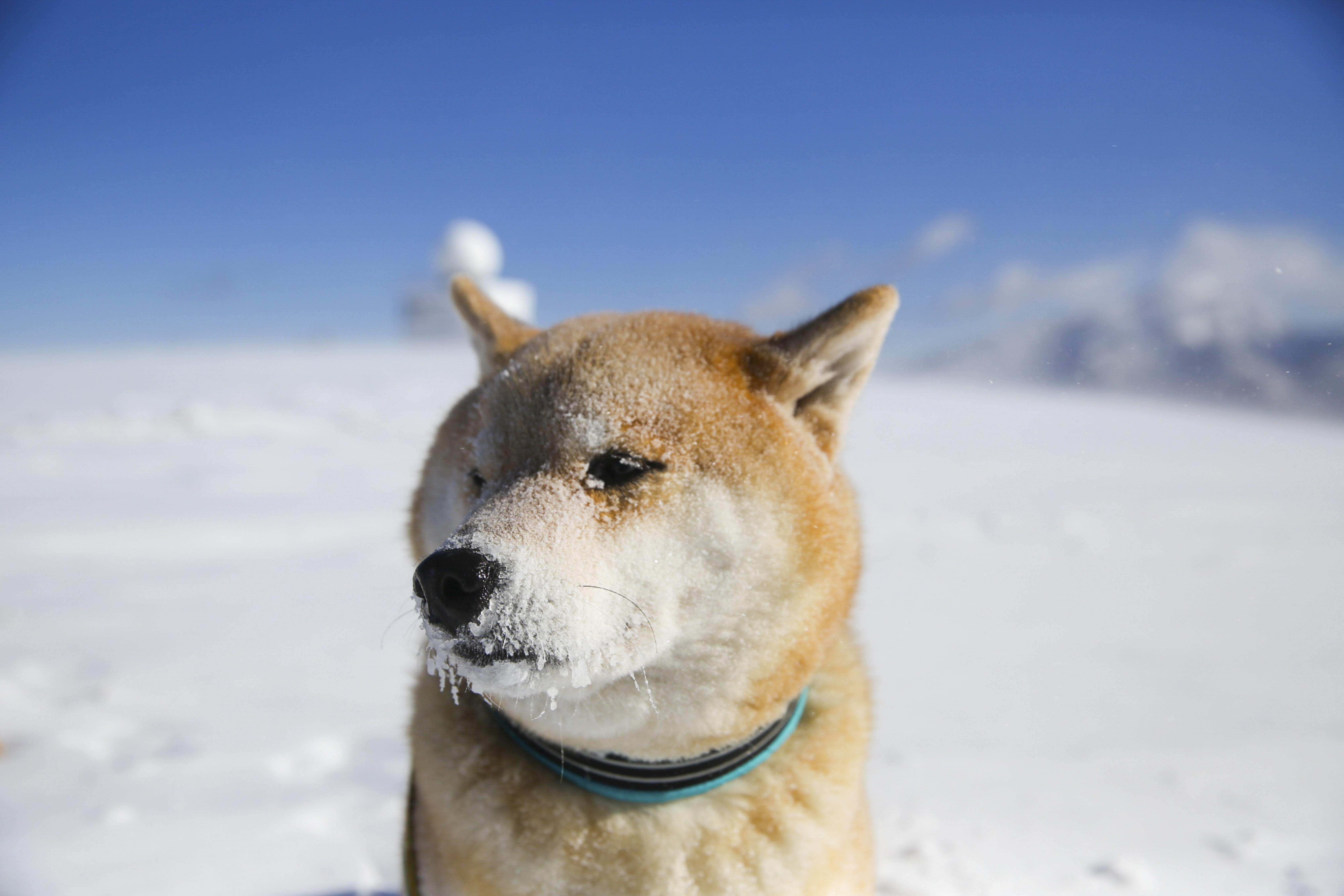 柴犬まる 写真 「雪ん子 まる」 A4版