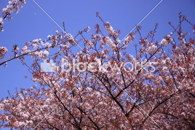 写真素材:春の桜004 - 画像1