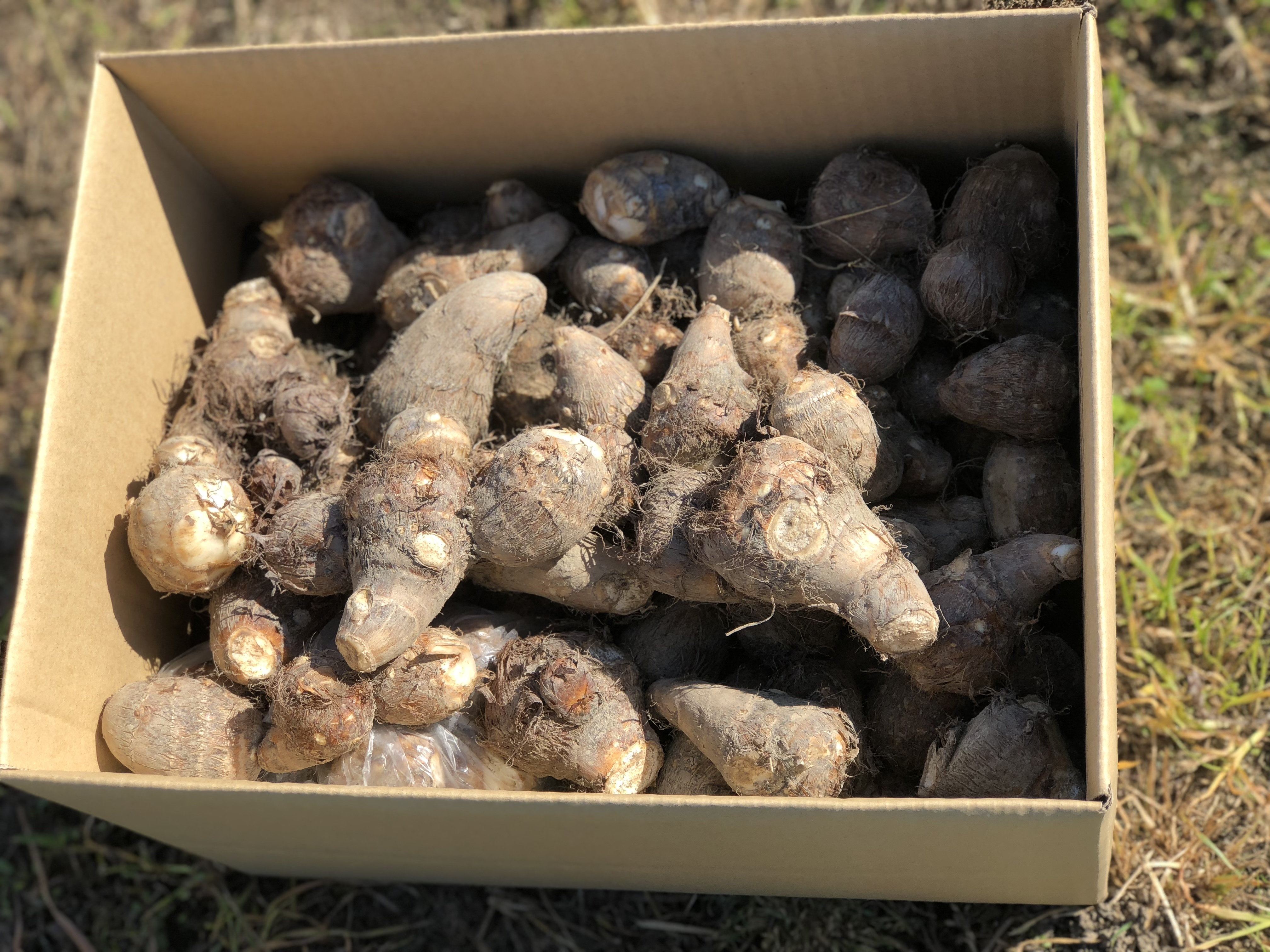 10kg 松山の自然で育ったしっとり美味しい里芋