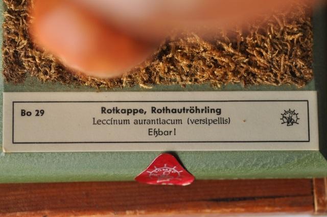 キノコ標本模型(Rotkappe,Rothautröhrling)