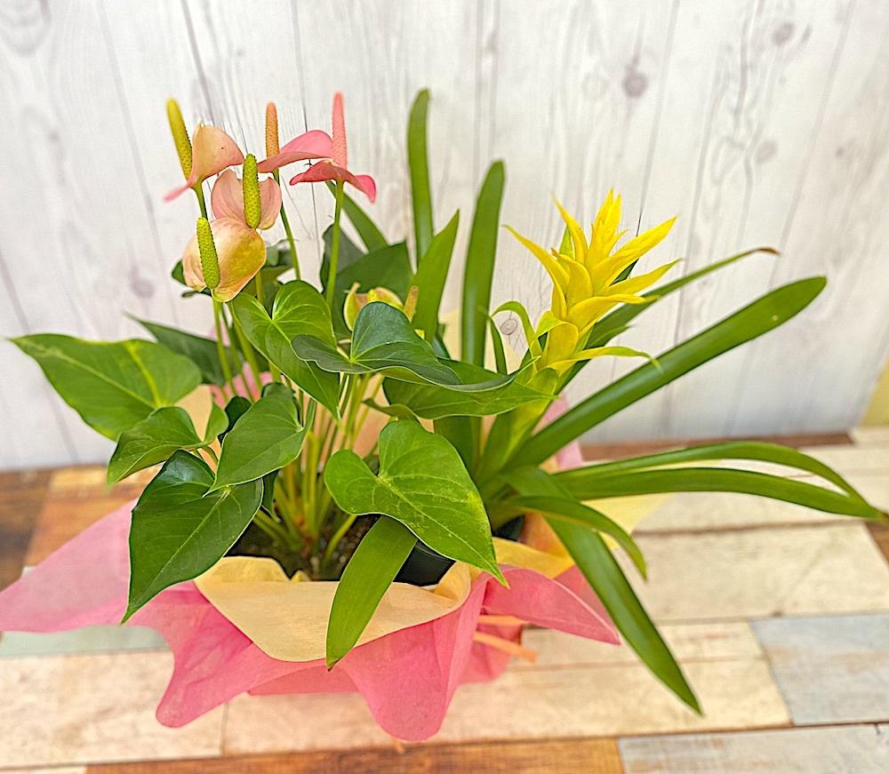 敬老の日/アンスリュームとグズマニアの花鉢