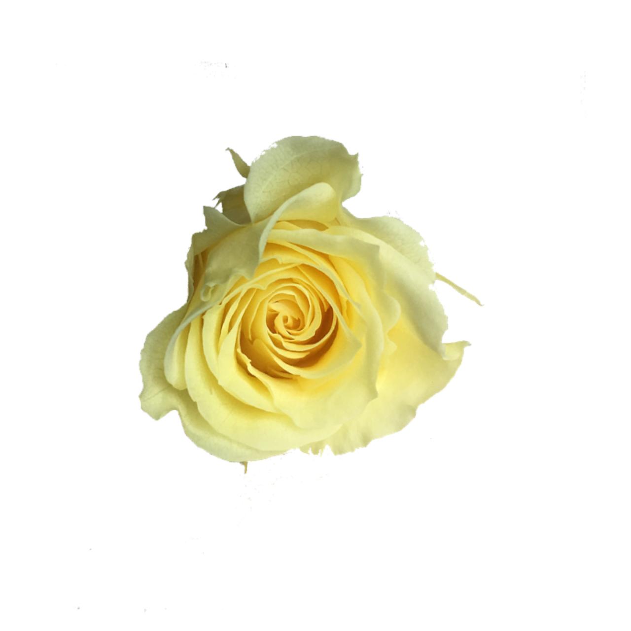 【5%OFF】プリザーブドローズ【1輪販売】   大地農園/ローズミミ モーニングイエロー/03840-0-501