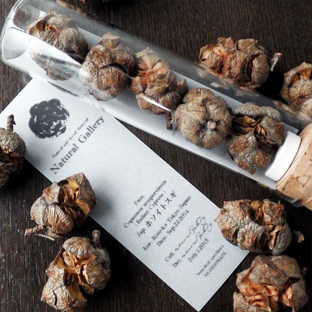 "Seed mania bottle ""Italian Cypress"""