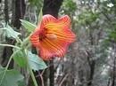カナリーアイランドベルフラワー[Canary Island Bellflower]#10