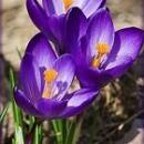パープルクロッカス[Purple Crocus]
