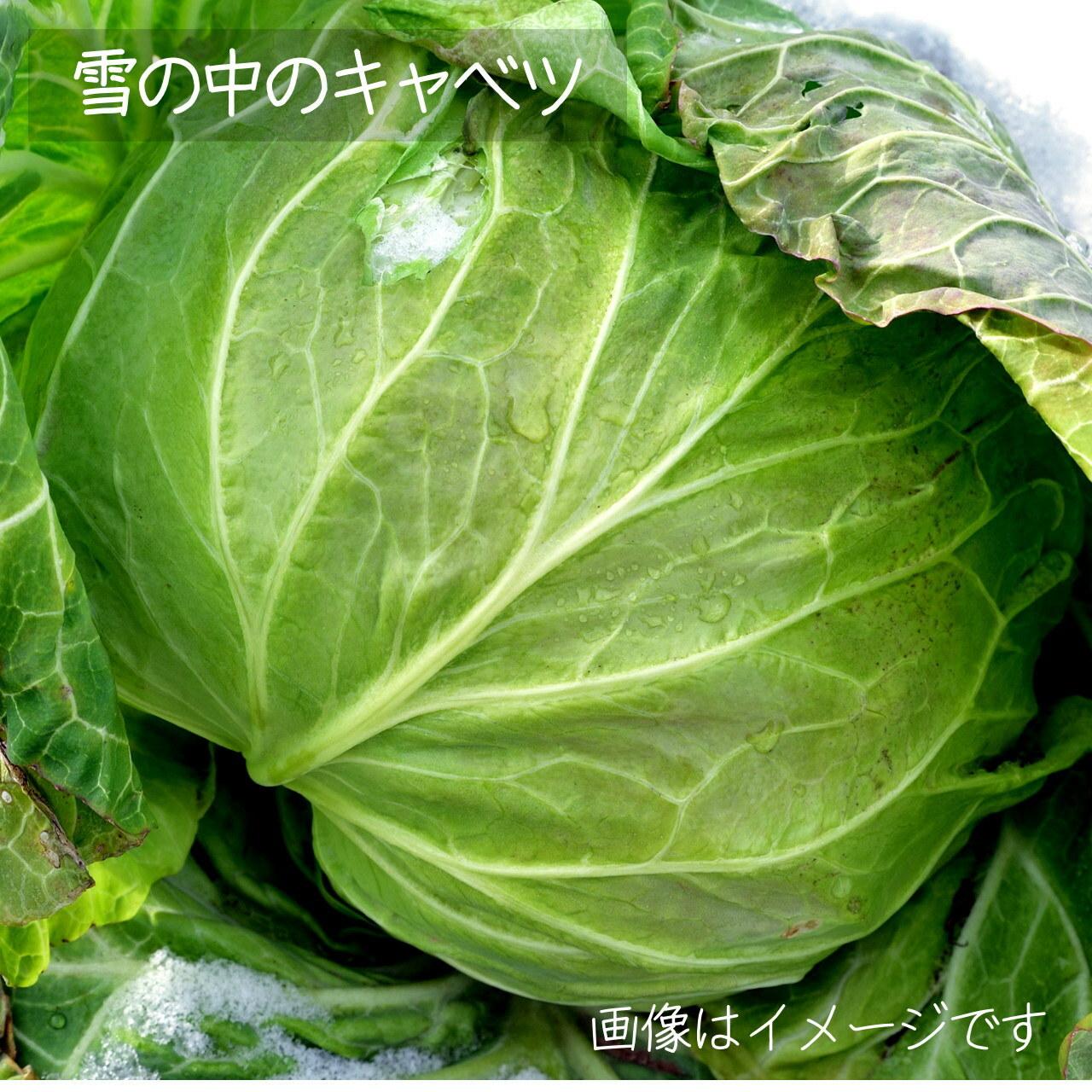 新鮮な冬野菜 : キャベツ 1個 11月の朝採り直売野菜 11月30日発送予定