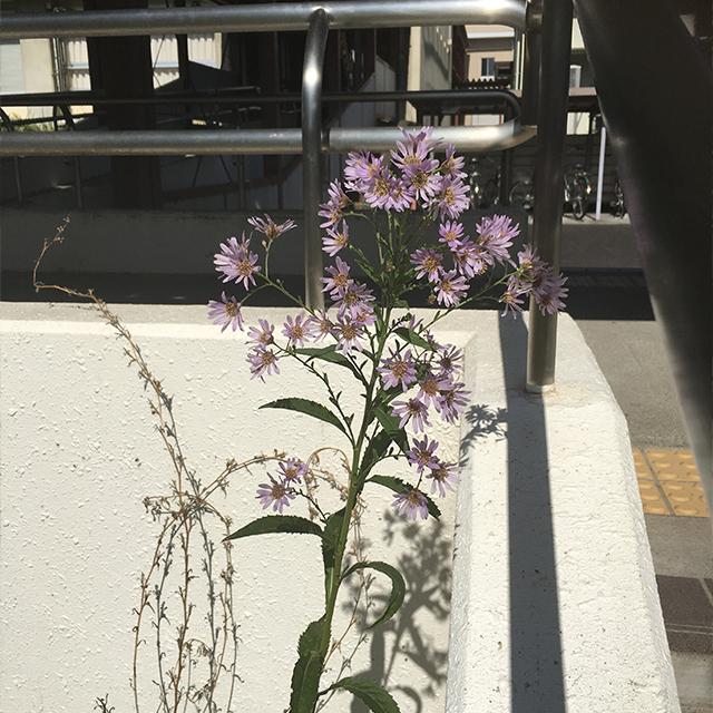 紫苑(しおん)『死生観』