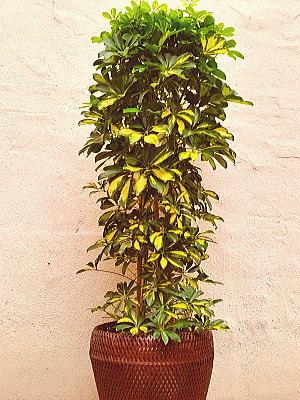 ht003 観葉植物 ホンコン カポック