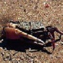 カニ[Crab]