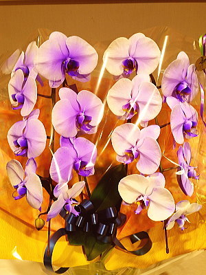 color-ran02 胡蝶蘭 紫