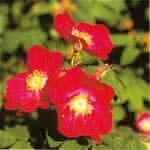 ティベタンロックローズ[Tibetan Rock Rose]#7
