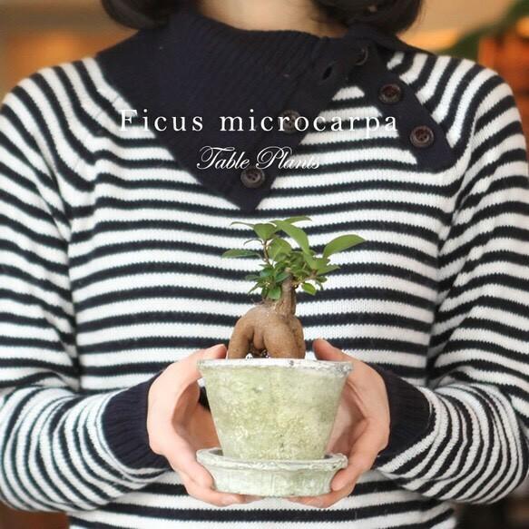 ■当日出荷■観葉植物 風水パワー!オシャレなミニガジュマル アンティーク調の手作りモスポット鉢・皿付き P05