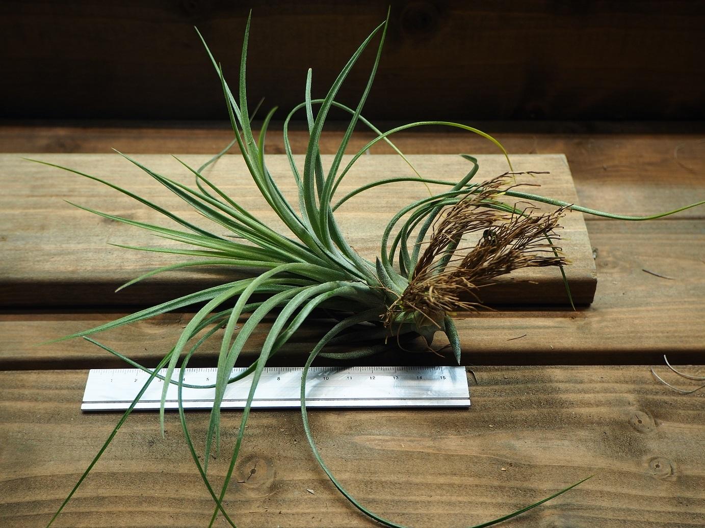 チランジア / ファシクラータ × イオナンタ (T.fasciculata × T.ionantha)