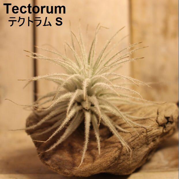 エアプランツ Tectorum S