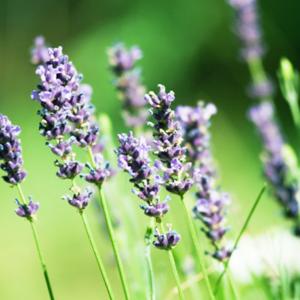 Phytofrance Lavender [真正ラベンダー] - 画像2
