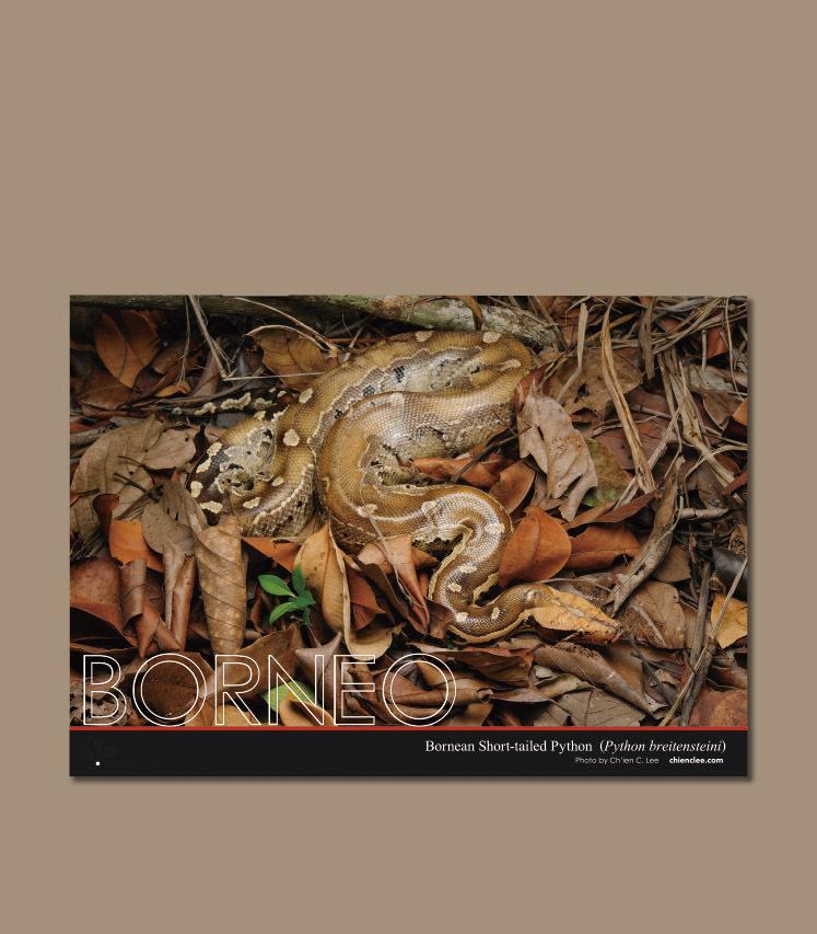 ボルネオ擬態クリアファイル ボルネオアカニシキヘビ