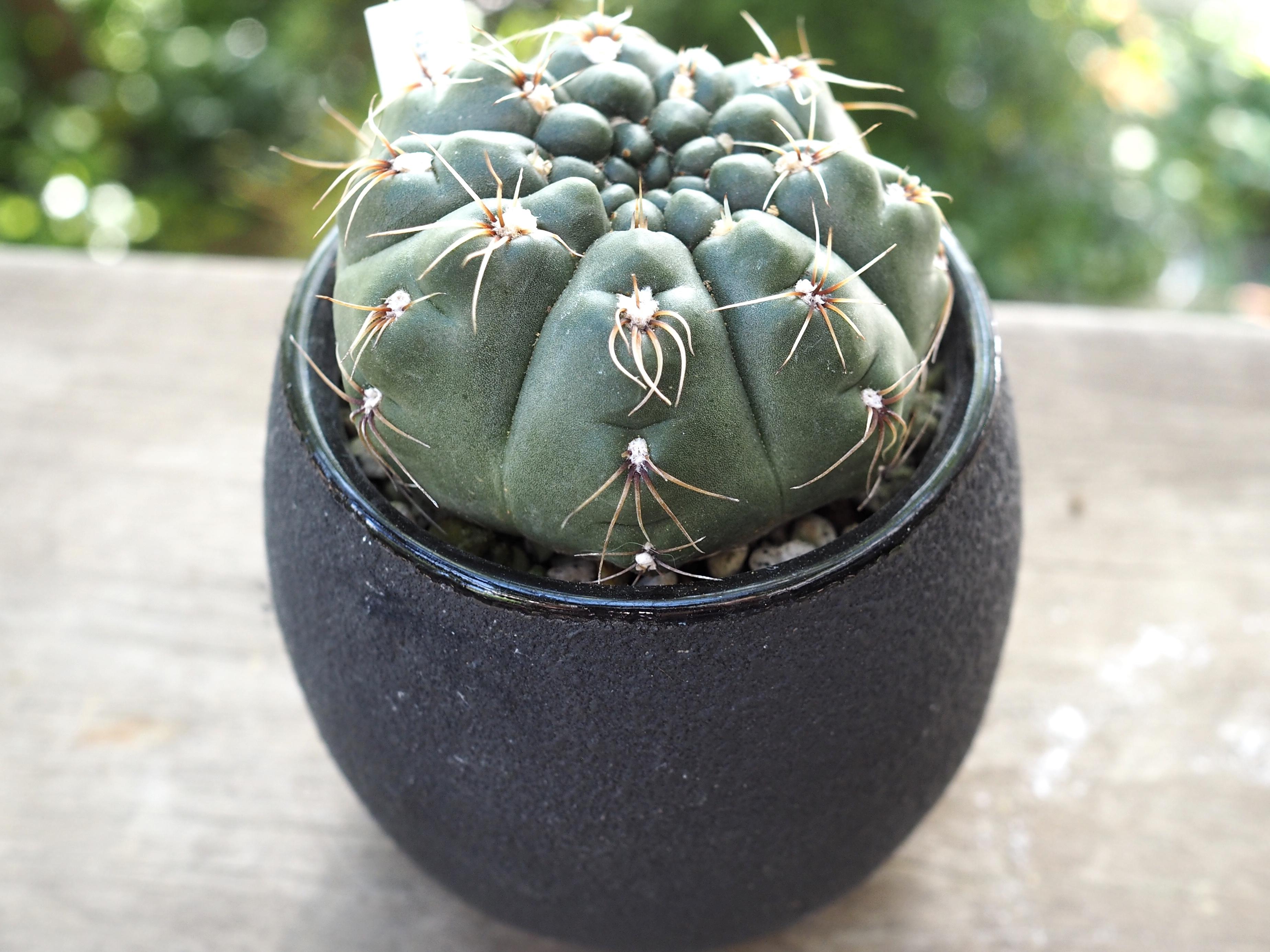 モダン黒鉢×緋花玉交配種